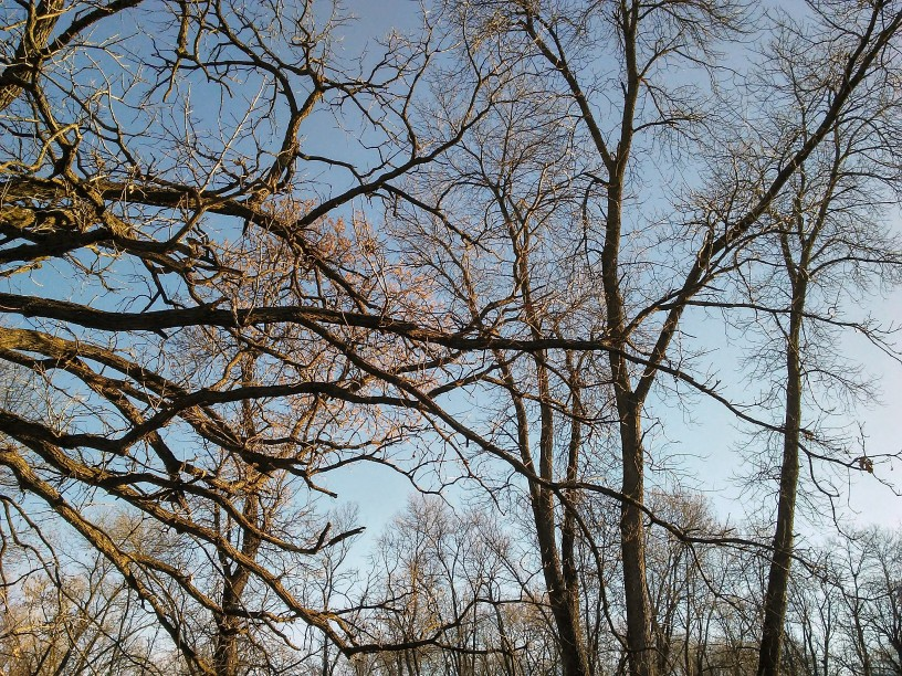 Horizontal oak branches and vertical trunks of ash trees.
