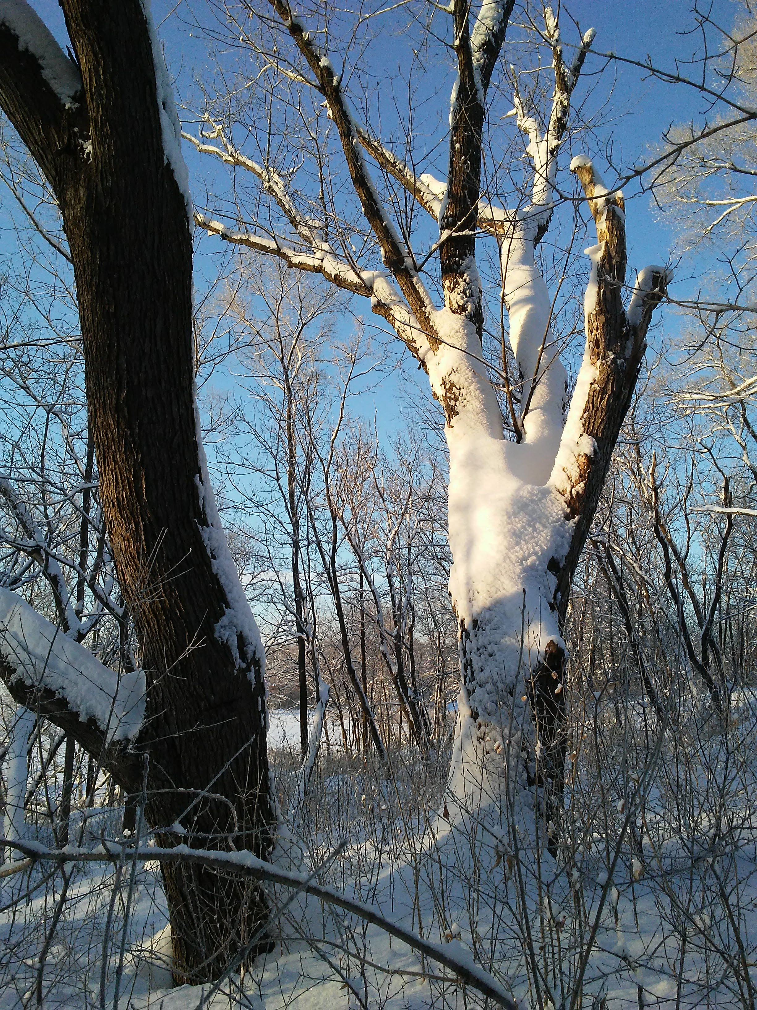 two trees: one snow covered and in sunlight. the other is plain bark and in shadow. contrast