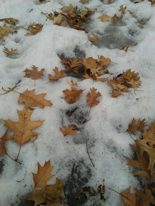 oak leaves in slush