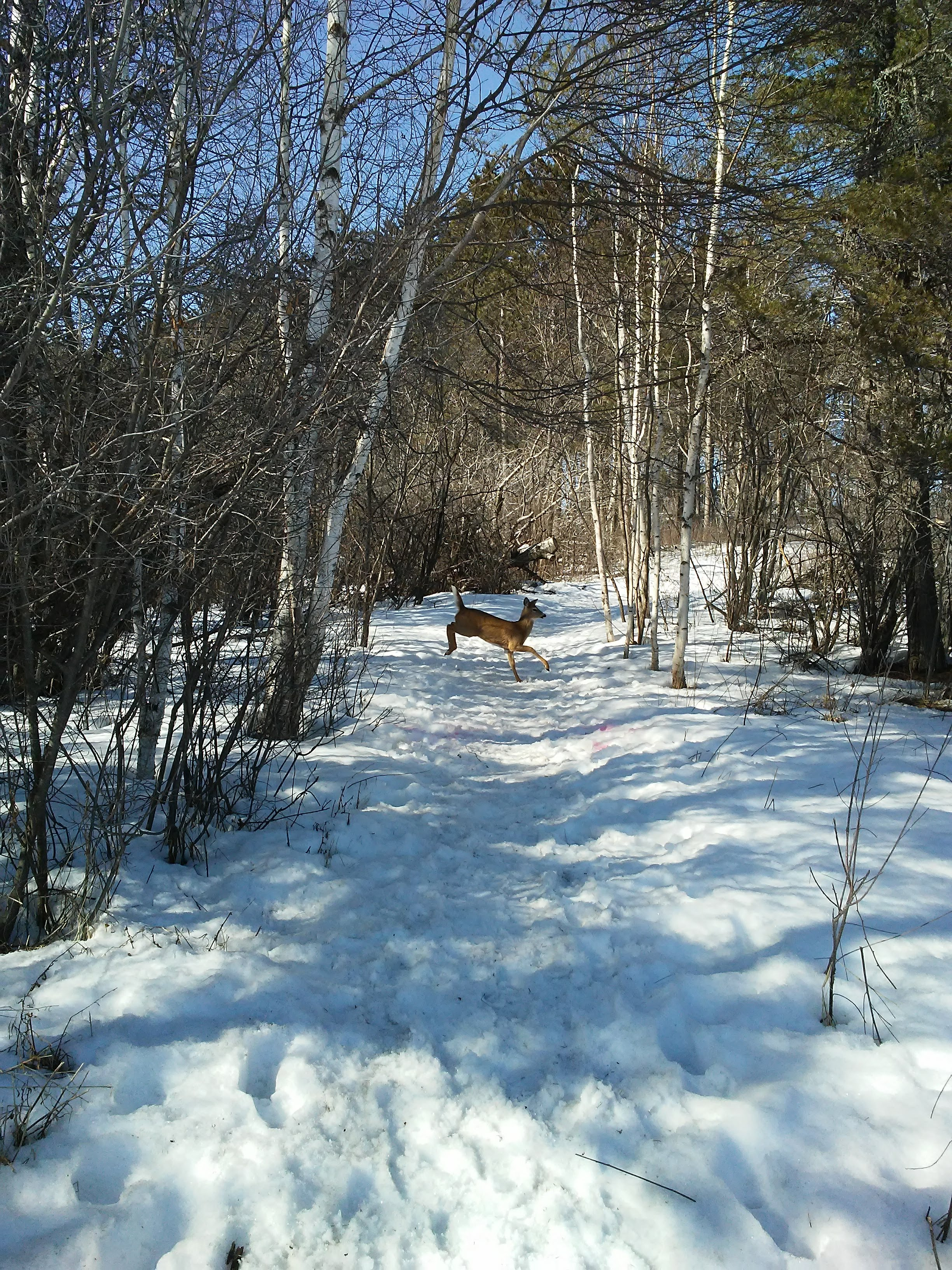 deer running across a snowy path in the woods