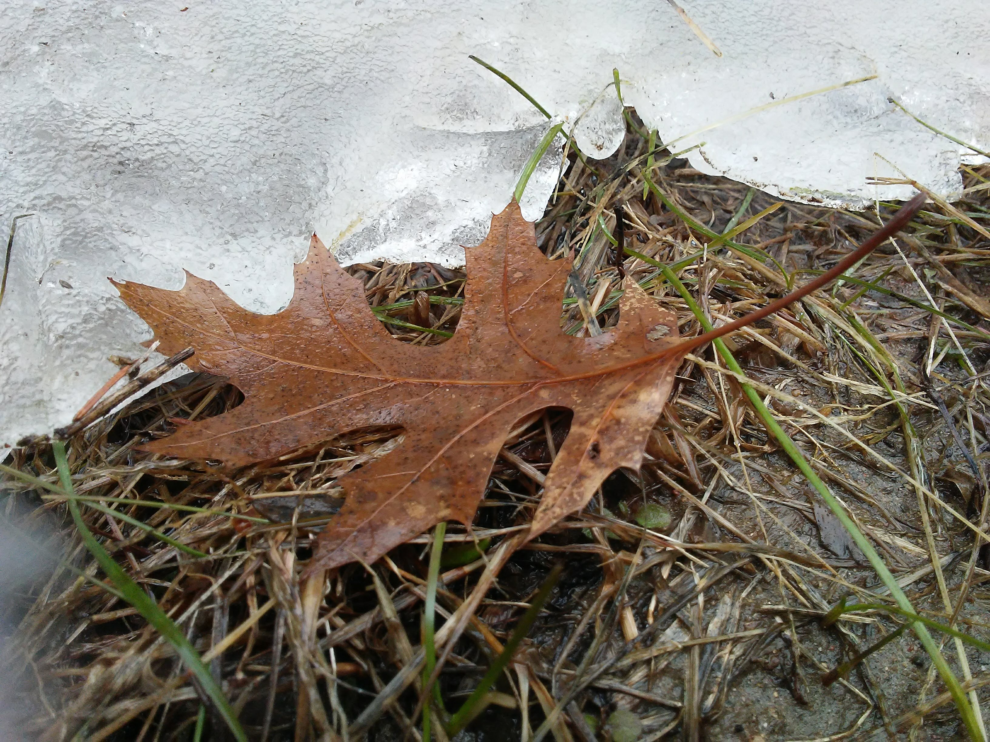 ice and an oak leaf and mud and new blades of green grass
