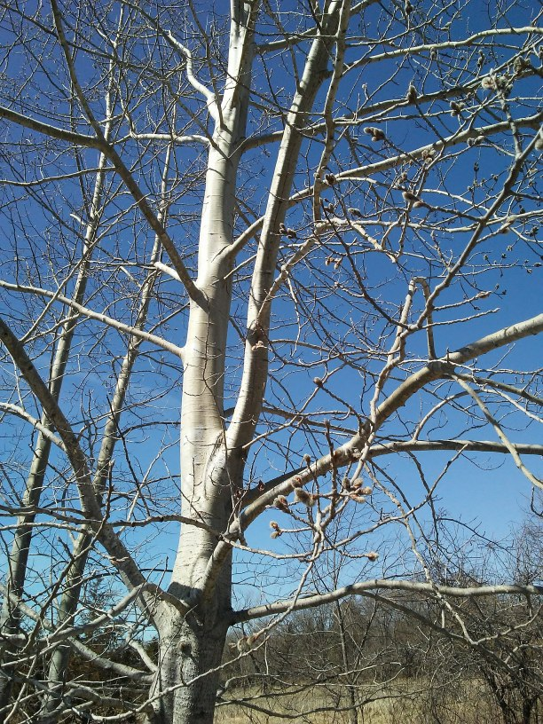 tree with white bark against a blue sky