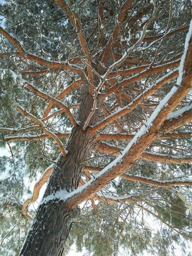 looking up a tree trunk with reddish branches and evergreen needles