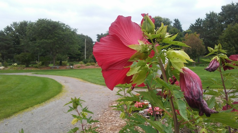 foreground is fuschia hot pink flower. a paved curved path in middle ground