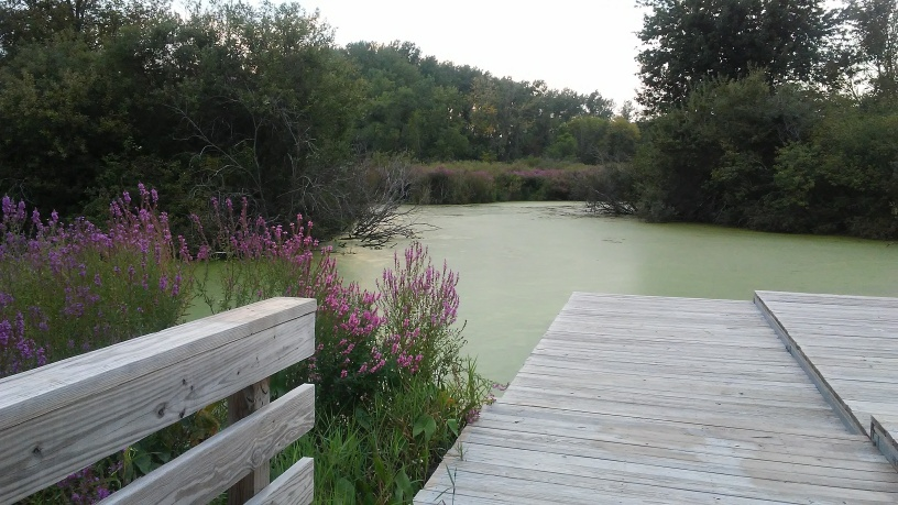 purple flowers, a deck, algae covered lake with trees in background