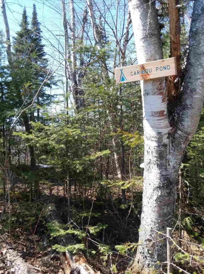 """Birch tree with a sign, """"Caribou Pond"""""""