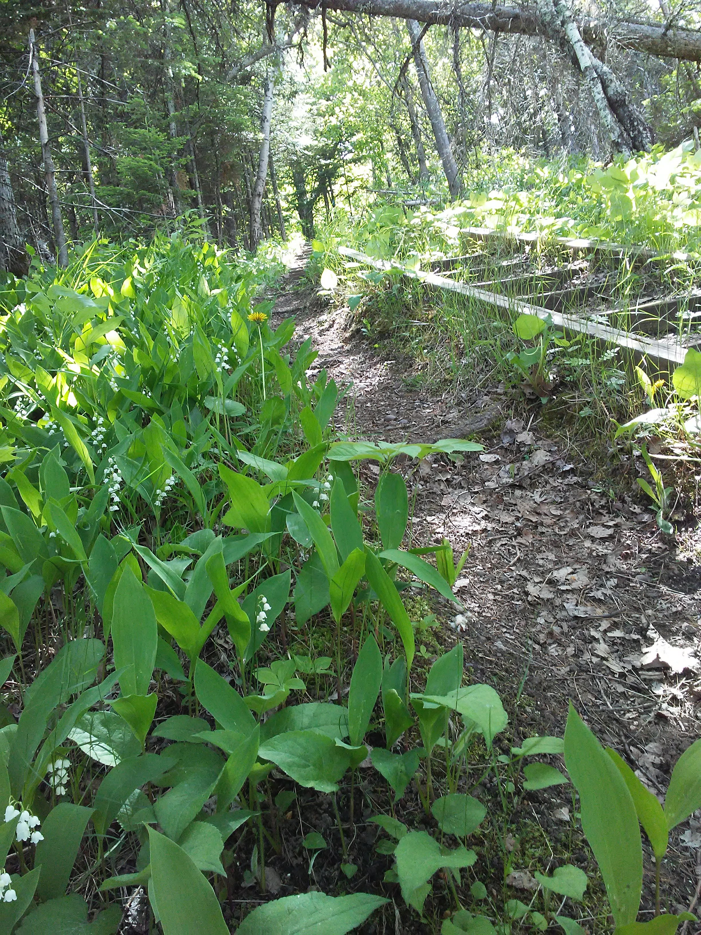 lily of the valley and wood steps on a trail in the woods