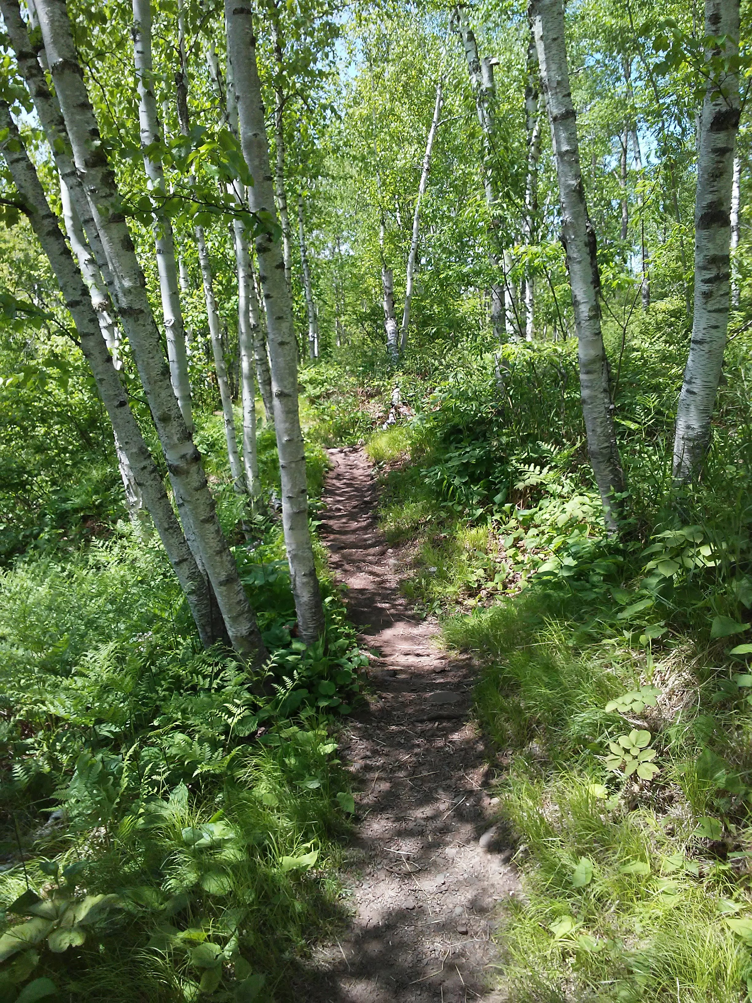 birch trees along a dirt path