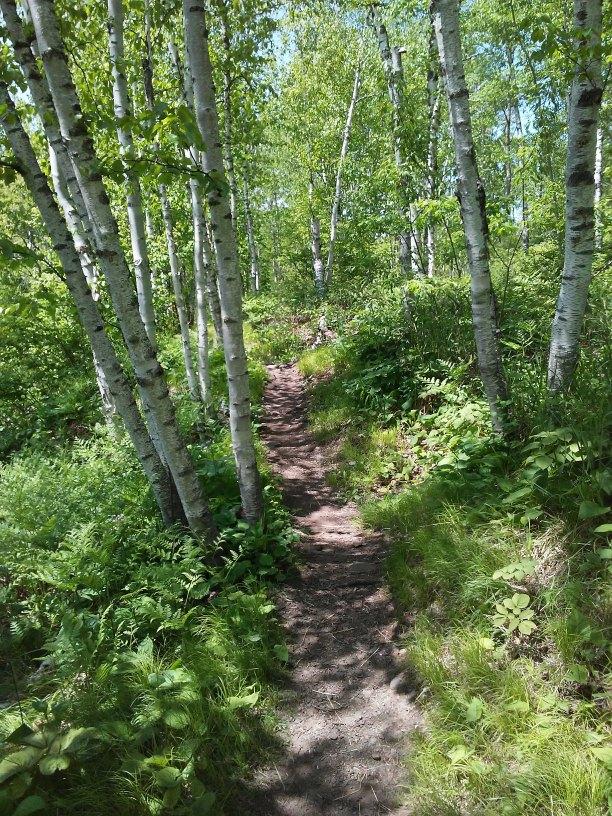 birch trees along a dirt path
