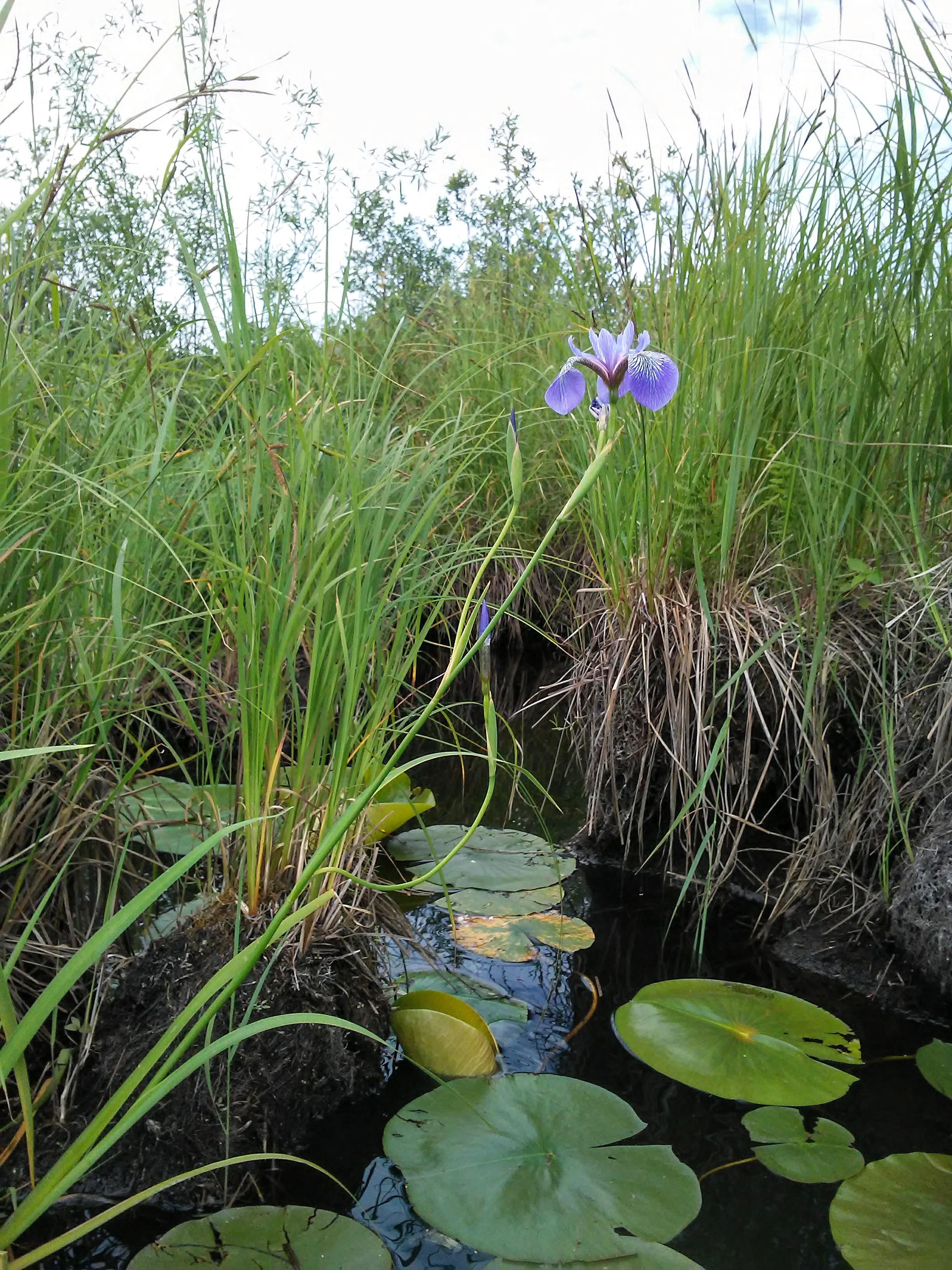 Lily pads and a purple iris