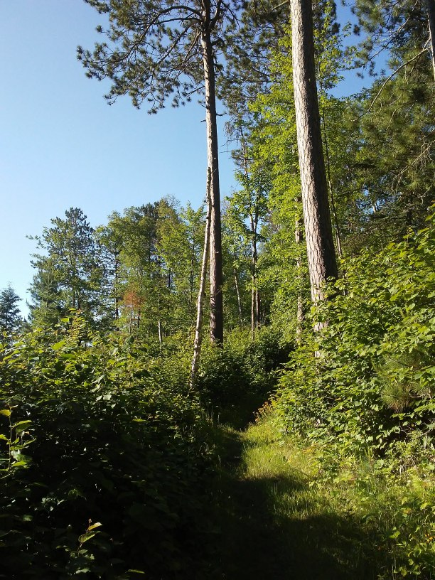 Grassy path and two tall trees and lots of undergrowth