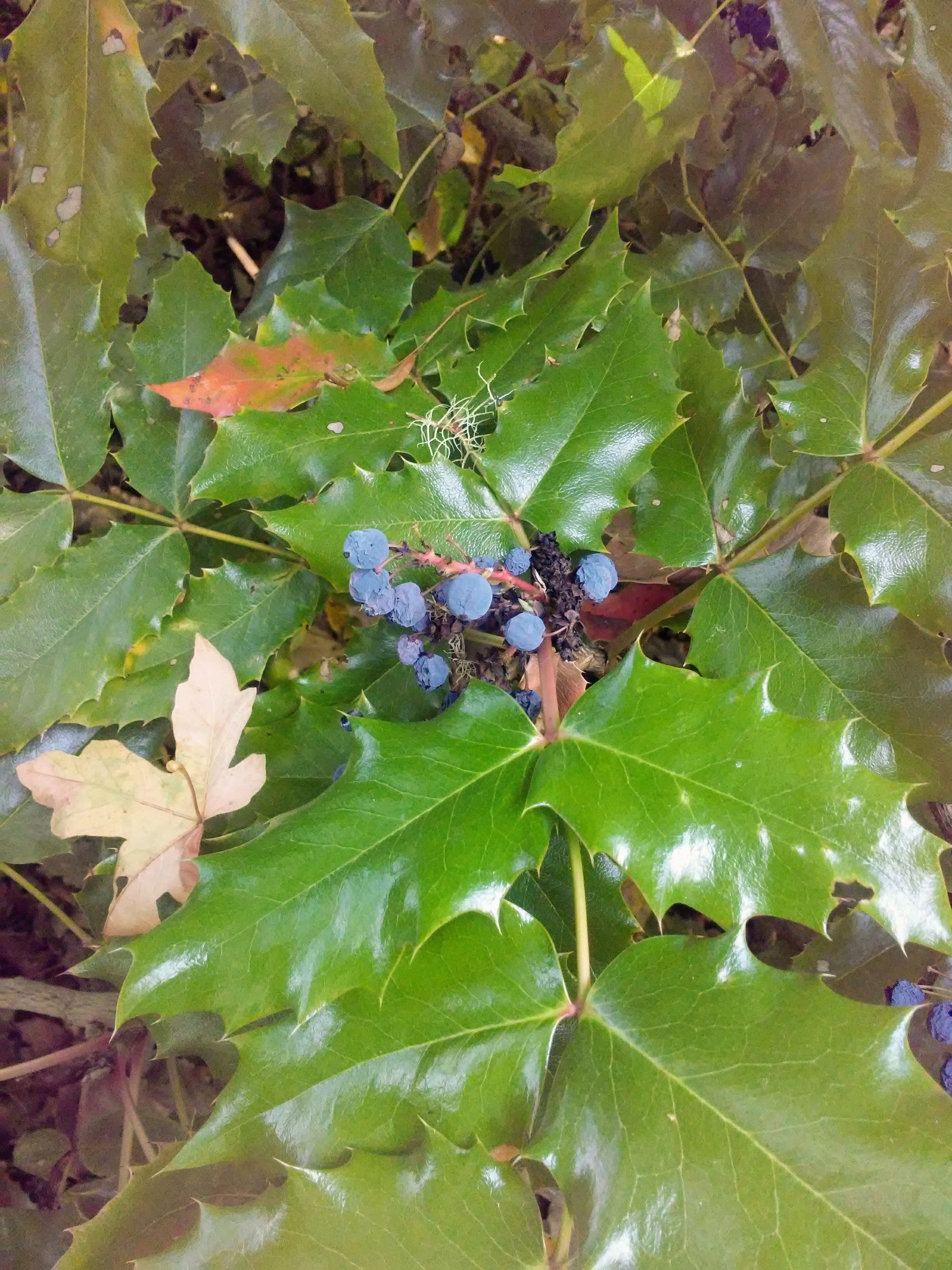 oregon grape plant