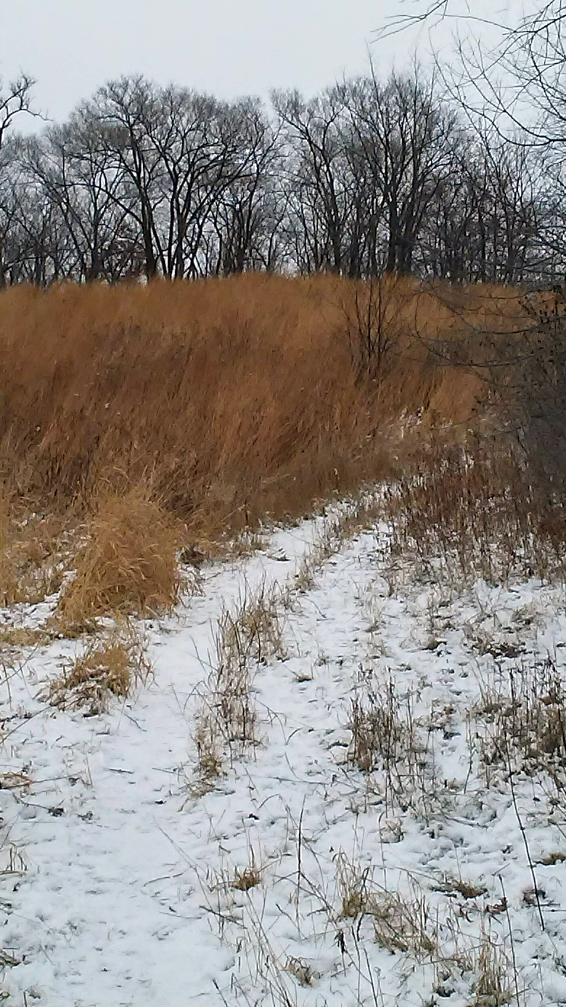winter path through tall grass