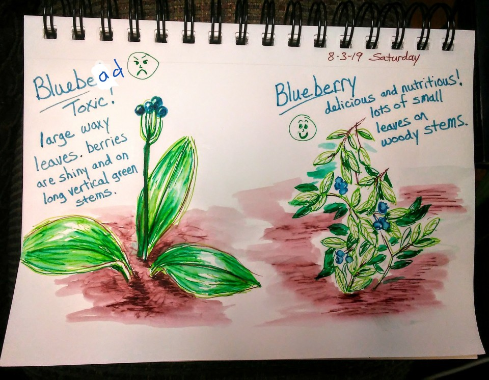 drawing of bluebead lily and blueberry plant