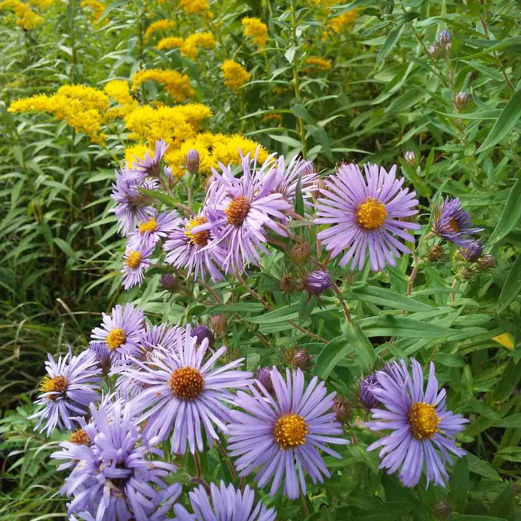aster and goldenrod flowers
