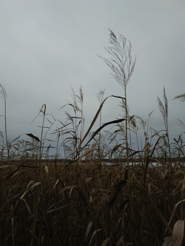 tall brown grass against the sky