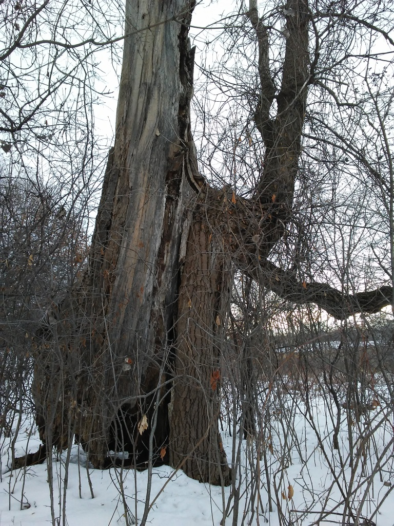 a very old, very large tree, mostly dead. winter.
