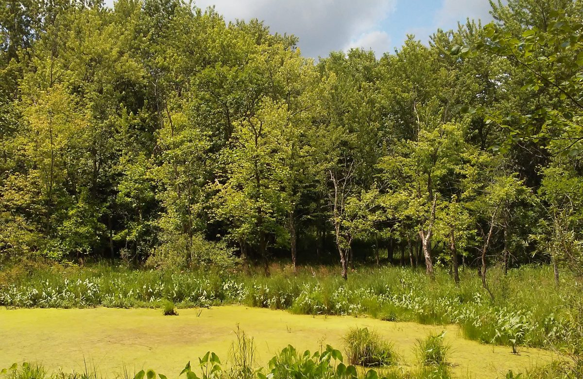 trees, pond