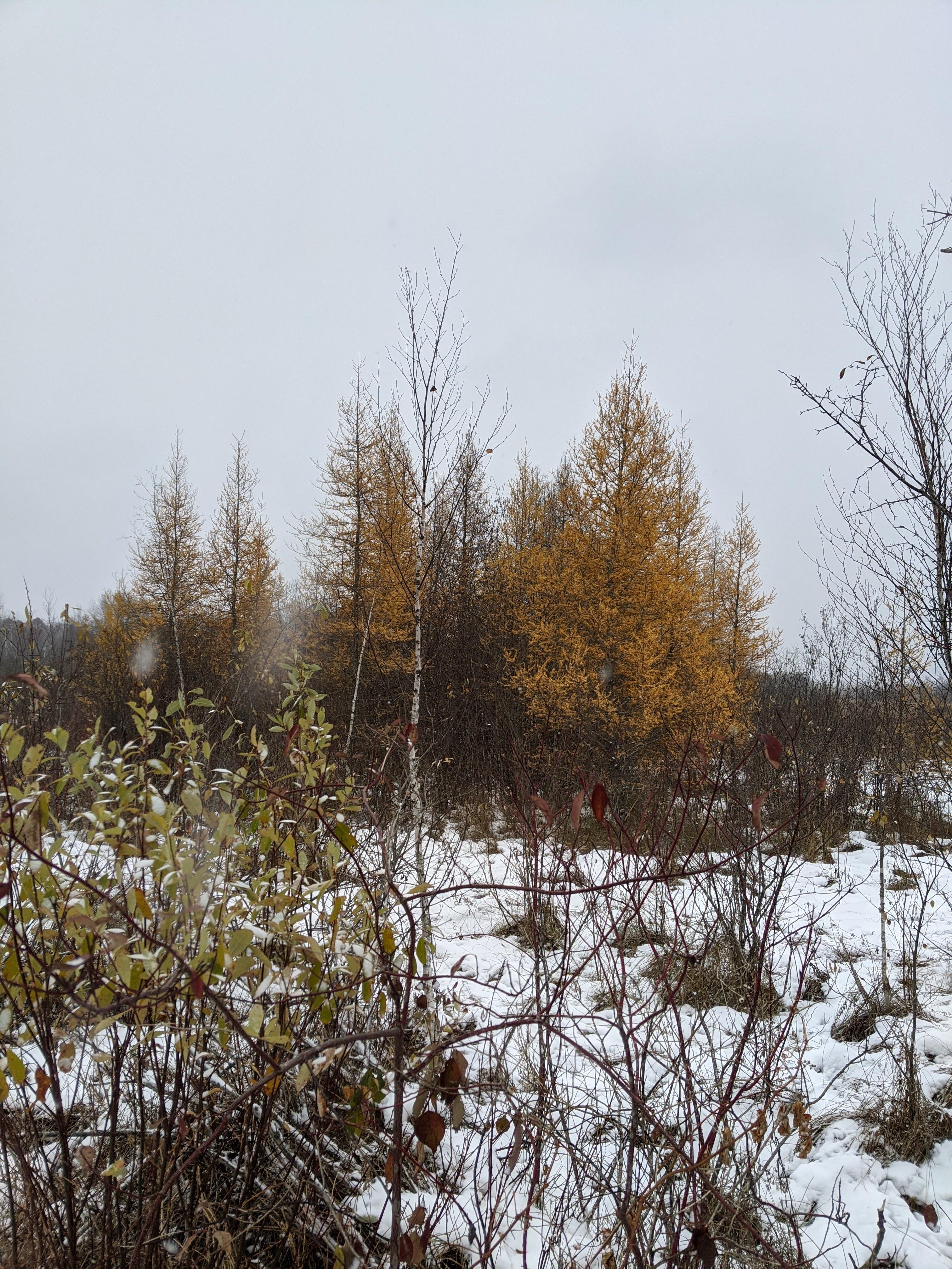 Golden tamarack trees